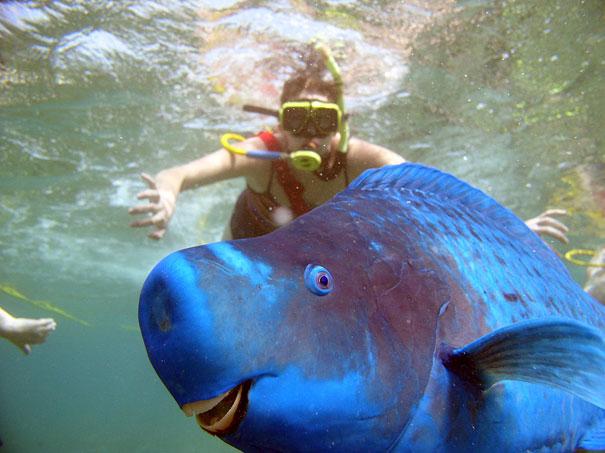 Pește-papagal albastru uriaș