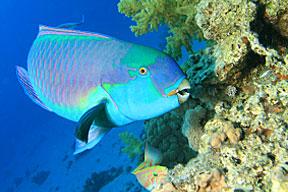 Pește-papagal lângă corali