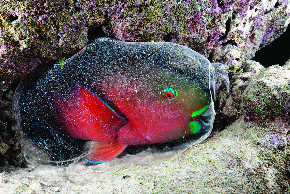 Pește-papagal roșu dormind în sacul lui de mucus