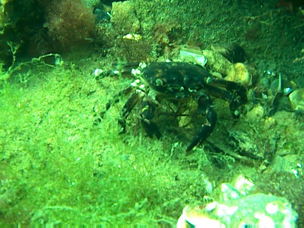 Crab din Marea Neagra