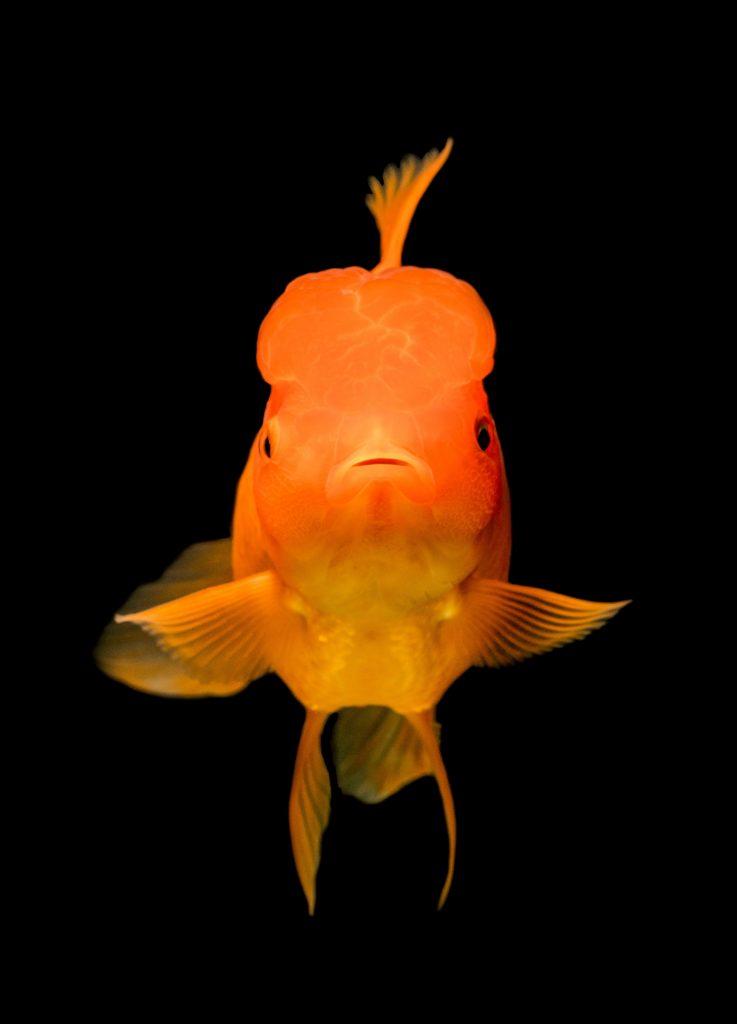 Pește chinezesc auriu