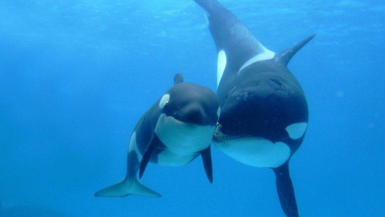 Orca, balena ucigașă
